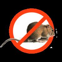 Derattizzazione-ratto-delle-fogne