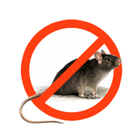 Derattizzazione-ratto-nero
